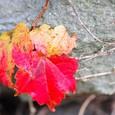 石垣の紅葉