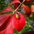 紅葉とハンミョウ