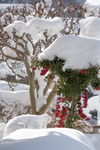 雪のピラカンサス