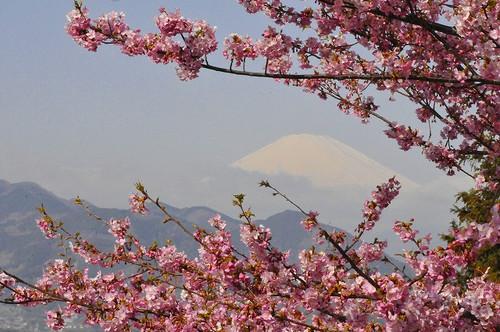 河津桜と富士