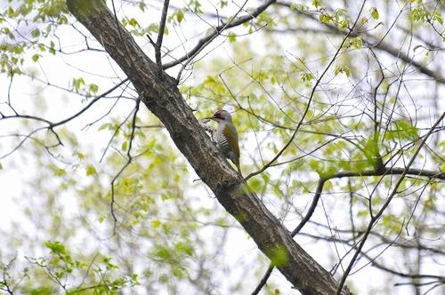 アオゲラ 緑啄木鳥 青啄木鳥